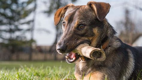 safe bones for puppies cooked bones for dogs safe or not top tips