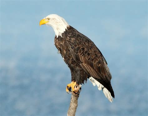 Eagles News Indiana Bald Eagle Could Be The Oldest In America Local