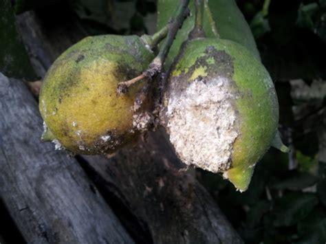 malattie piante limoni in vaso limone coltivazione