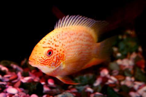 breeding red severum cichlid cichlids com golden red severum sex