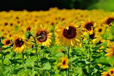 girasole fiore significato tatuaggio girasole significato significato fiori