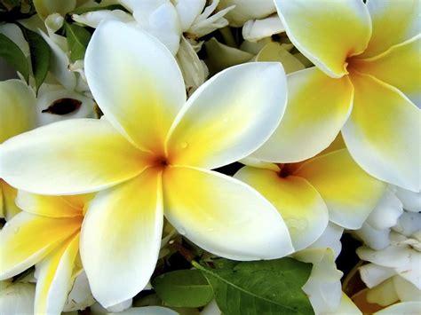 best flower best flower s care plumeria