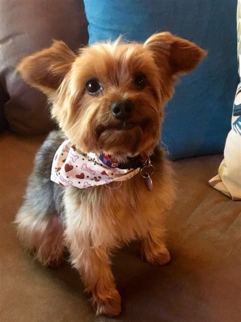 pet haircuts near me bruno s new haircut thanks fluffy puppy pet yelp