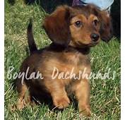 Teacup Dachshund Adults Puppies Miniature Long Haired
