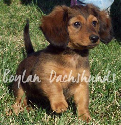 haired mini dachshund puppies for sale dachshund puppies miniature haired dachshunds