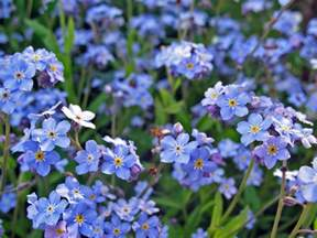 forget me not flowers photo 22283849 fanpop