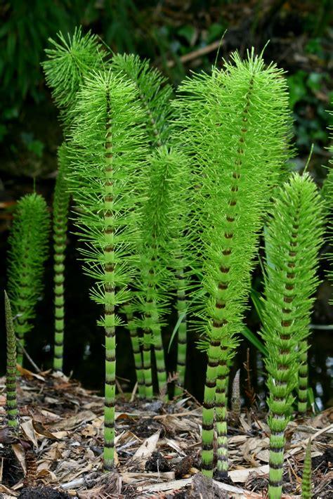 Sho Ekor Kuda pengertian ciri dan klasifikasi tumbuhan paku