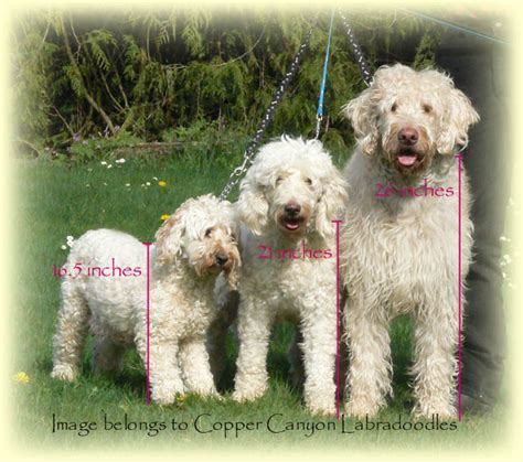 How Big Does A Mini Goldendoodle Get Breeds Picture