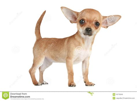 chihuahua puppies for free chihuahua of travel breeds picture