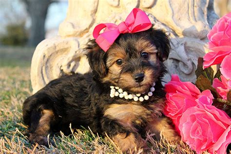 yorkie puppies for sale la yorkie poo puppies for sale in louisiana