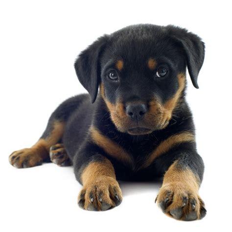 cachorro rottweiler rottweiler pre 231 o quanto custa um