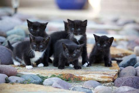 Litter Of Kitties by Choosing A Kitten From A Litter Choosing The Right Cat