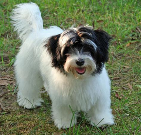 when is a havanese grown rambo the havanese puppies daily puppy