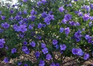 purple flowered shrubs 69 best my garden plants perth wa images on