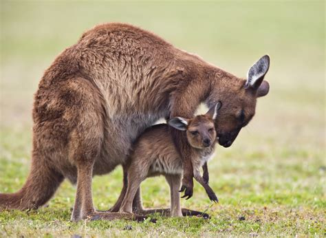 Kangaroo Animal Facts Hd Wallpapers Download Images Animals