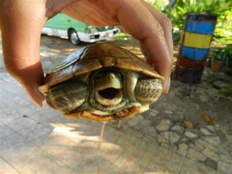 Peliharaan Anakan Kura Kura Baby Turtle kumpulan foto kura kura yang unyu unyu kaskus threads