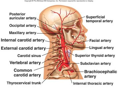 arteries in the neck diagram blood vessels