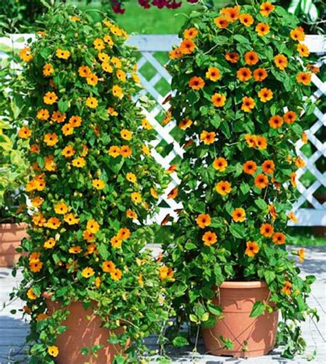 climbing plants for pots top 9 annual blooming vines that climb with gusto