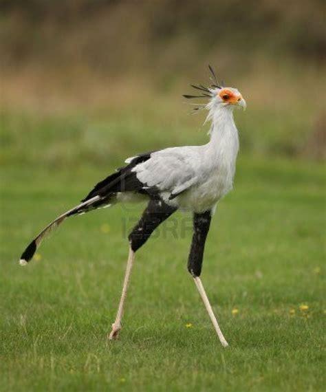 secretary bird birds of prey pinterest