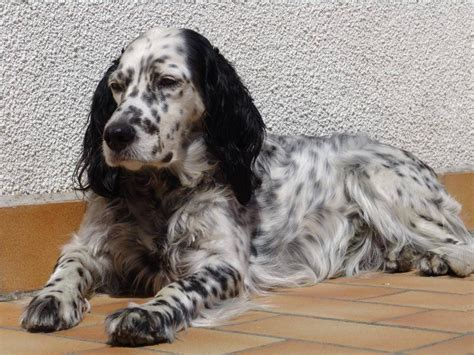english setter girl dog names english setter dog rest on the floor photo and wallpaper