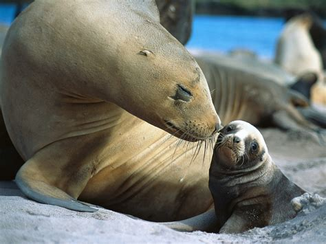 Sea Ls seals wallpapers animals wiki pictures stories