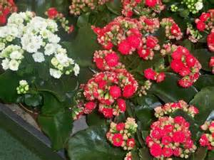 Flowering House Plants Identification Flowering Plants Cambodiaplants