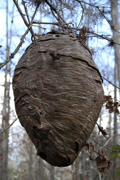 Bees That Make Paper Nests - bees that make paper nests 28 images bee wasp