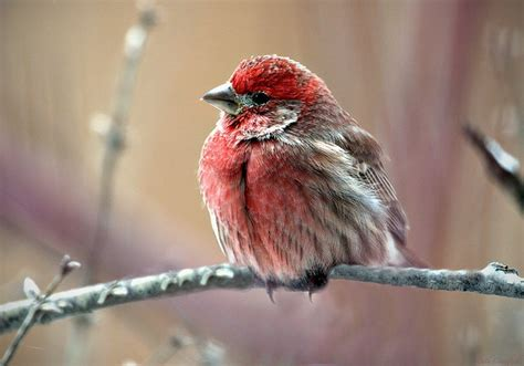 house finch food preferences house finch food preferences 28 images house finch delightwild delight house