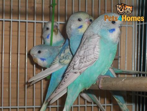 baby budgies for sale manchester greater manchester