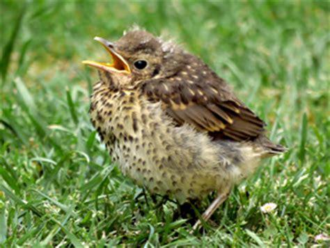 tordo alimentazione come crescere un nidiaceo komitee gegen den vogelmord e v