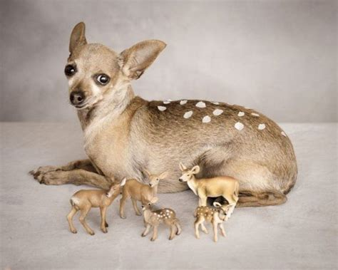 deer chihuahua puppies literally a deer chihuahua poor lil lol pomeranians and s