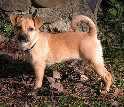 grown pug size jug terrier pug mix info temperament pet care puppies