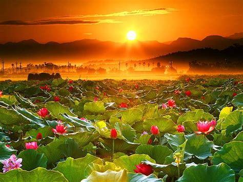 sui fiori e le donne tramonto sui fiori di loto immagini e foto gratuite