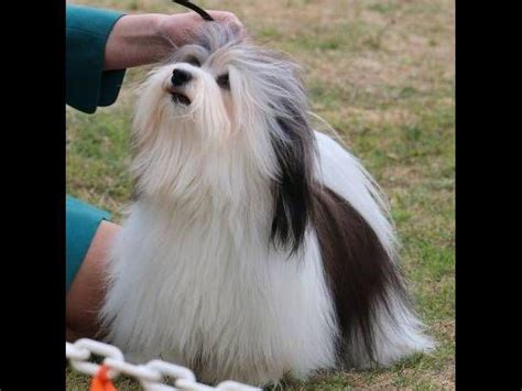havanese club of southern california kolbe puppies for sale