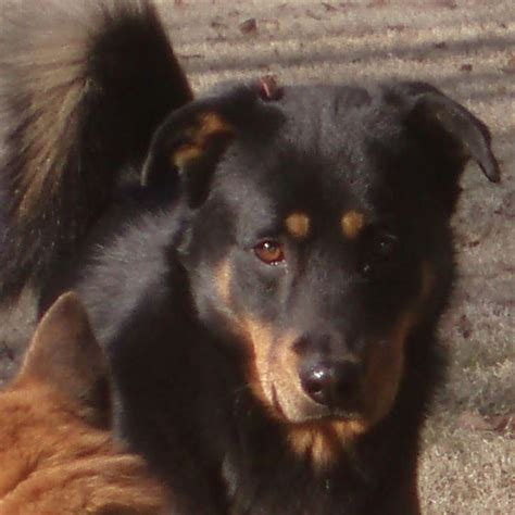 rottweiler shepherd chow mix german shepherd rottweiler chow mix www imgkid the image kid has it