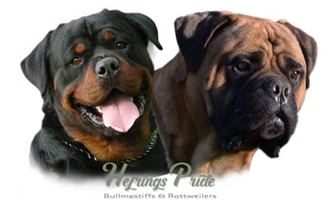 rottweiler and mastiff hefrings pride bullmastiff rottweiler kennel about us