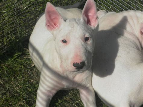 bull terrier puppies nc bull terrier puppies picture sc