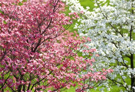 how to grow and care for dogwood trees garden lovers club