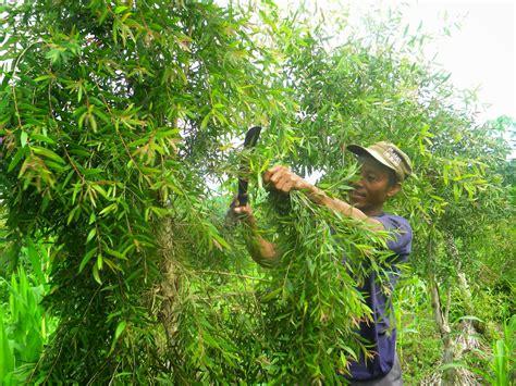 Daun Minyak Kayu Putih education for proses pembuatan minyak kayu putih