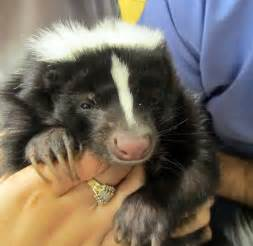 spaying or neutering your pet skunk center for avian and