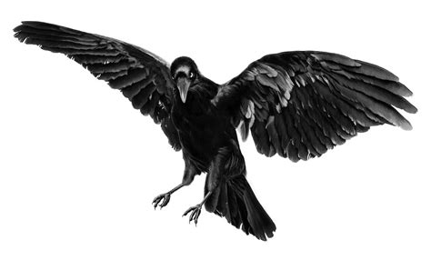 crow by enki eduard 183 furiffic