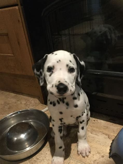 dalmatian puppies for sale in beautiful kc registered dalmatian puppies for sale cambridge cambridgeshire