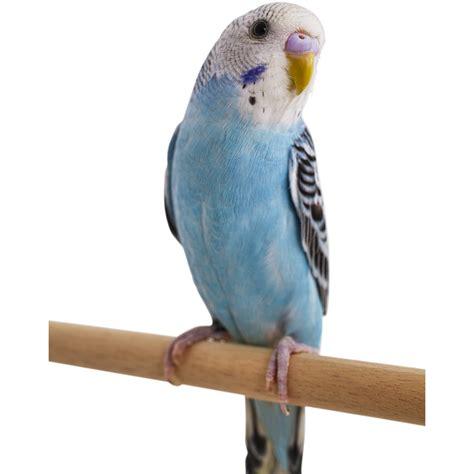 petco prices blue parakeet petco