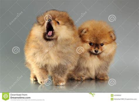 gray pomeranian puppies two pomeranian puppies stock photo image of gray 40339502