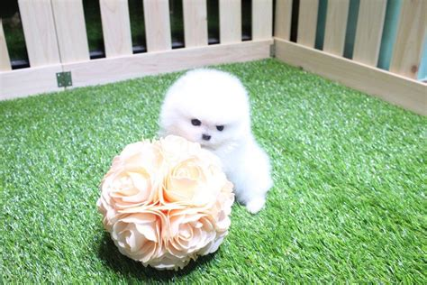 teacup pomeranian puppies for sale in nebraska pomeranian puppies for sale in nebraska ne breeds picture