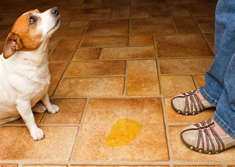 what stops dogs peeing in the house medical behavioral reasons your dog is urinating in the house and how to stop it