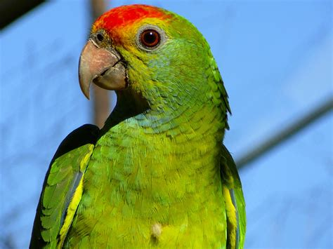 amazon parrot file red browed amazon parrot jpg
