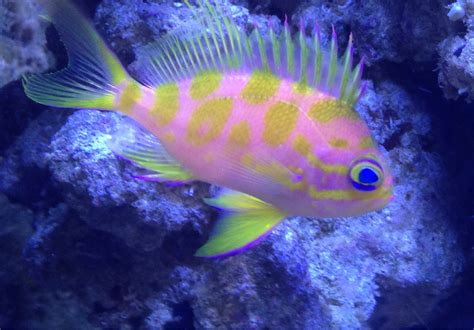 coolest reef safe fish reef2reef saltwater and reef