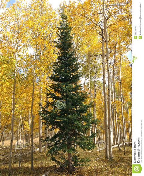 fir with aspen royalty free stock image image 26929896
