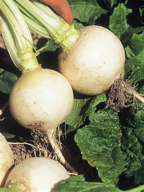 skinned root vegetable root vegetables turnips rutabagas and radishes diy